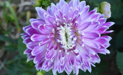 Dahlia, flowers, purple flowers, bloom