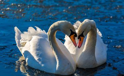 Swan pairs, birds, swim, love