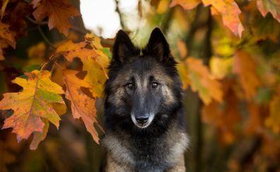 Shepherd, dog, autumn, muzzle