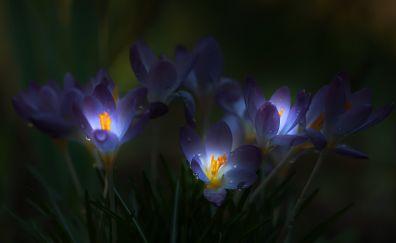 Glowing Crocus, purple flowers, drops, grass