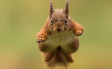 Red, rodent, jump, animal, squirrel