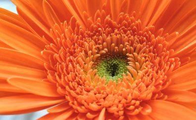 Orange Gerbera, daisy, flowers, close up, petals, 4k