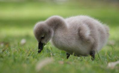 Baby goose, bird, grass