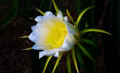 White, wild flower, pollen, close up, 5k