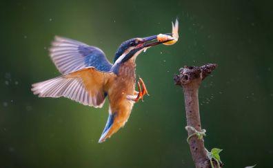 Bird, kingfisher, fish, wings