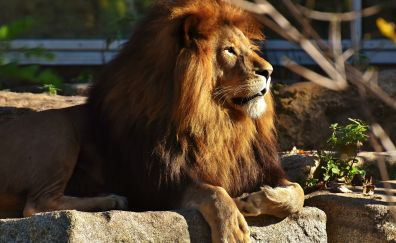 Beast, lion, predator, animal, zoo, 4k