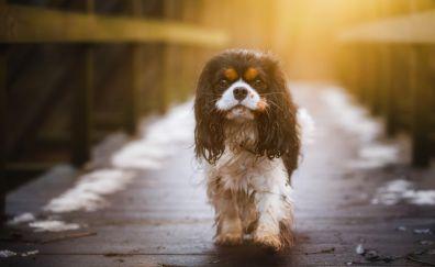 Cavalier King Charles Spaniel, dog, walk