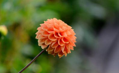 Dahlia, flower, bloom, spring, 4k