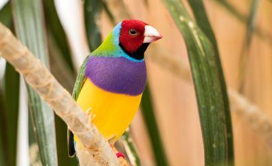 Beautiful bird, Gouldian Finch, colorful bird