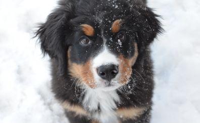 Bernese mountain, dog, puppy, muzzle, 4k