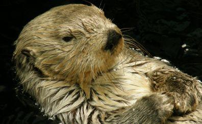 Otter, wildlife, animal, swim