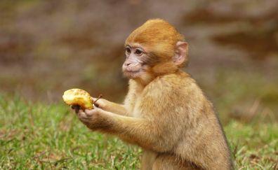 Ape, monkey, animal