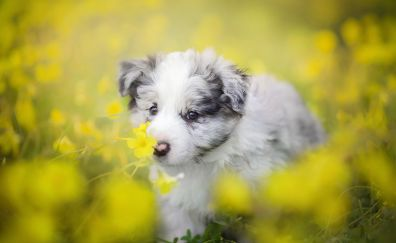 Border Collie dog, puppy, meadow, yellow flowers