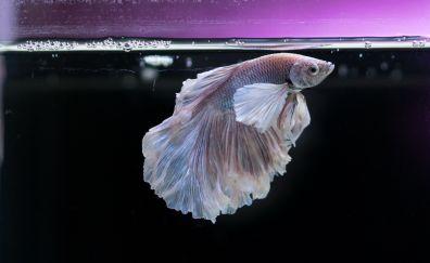 Gold fish, aquarium, underwater