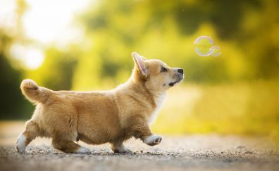 Corgi, dog, play, bubbles
