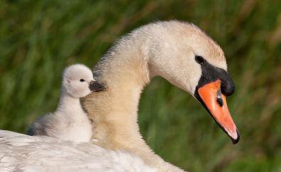 Swan, baby swan, birds