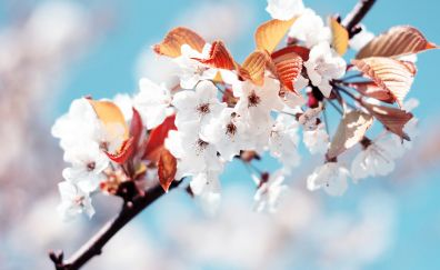 Flowers, tree branch, cherry blossom, blossom, spring