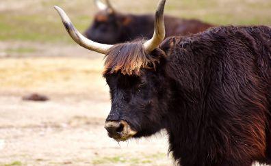 Horns, cattle, black cow