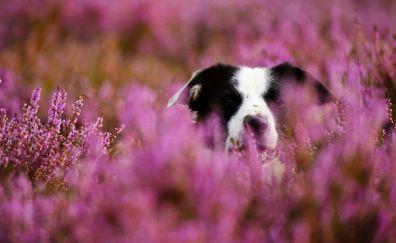 Border collie, dog, muzzle, meadow