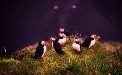 Puffins, grass, birds