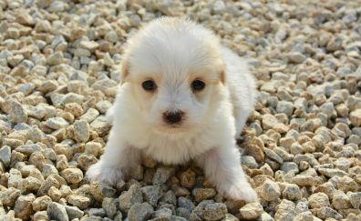 Cute puppy, Coton De Tulear, pet animal