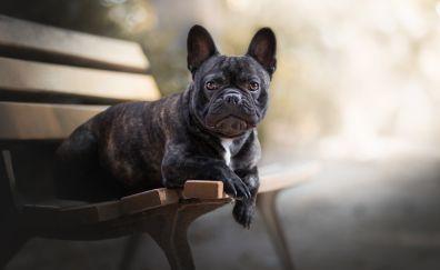 French bulldog, pet dog, sit, bench