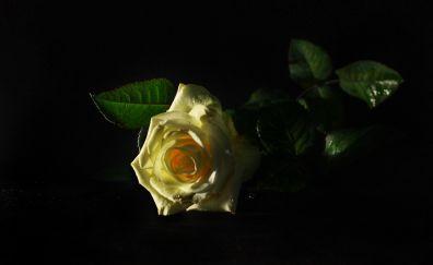 yellow rose, leaves, portrait, 5k