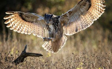 Owl, open wings, flight, bird