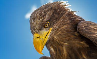 Predator, Golden Eagle muzzle, yellow beak