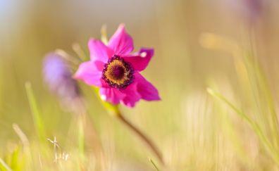 Anemone, pink flower, blur