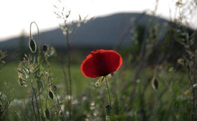Poppy, red flower, plants, blur, sunrise