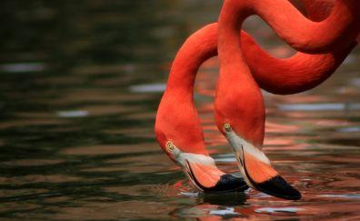 Flamingos birds