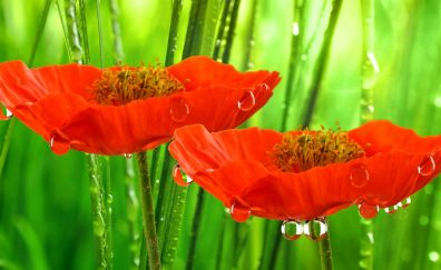 Red poppies, water drops, close up