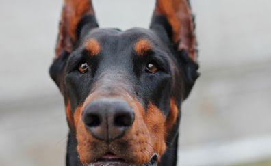 Doberman, dog muzzle, portrait