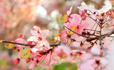 Cherry flowers, tree branch, blossom