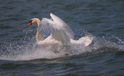 Swan, flying from water, wings, water splashes