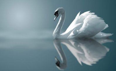 Swan white bird