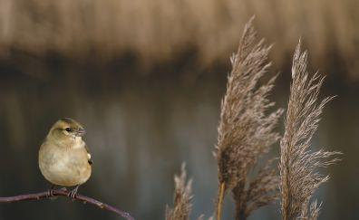 Kinglet bird, grass threads, sitting