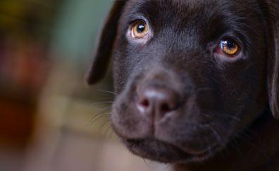 Labrador, puppy, brown, dog muzzle