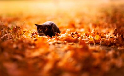 Cute cat, autumn, leaves