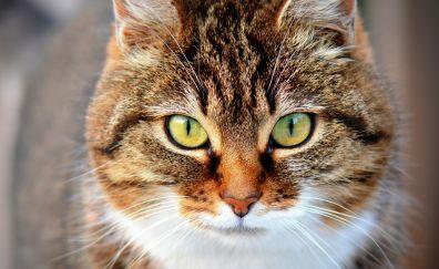 Cat muzzle, domestic animal, pet