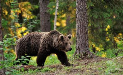 Brown bear, forest, trees