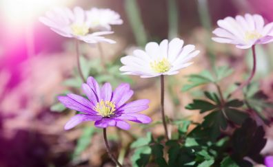 Anemone, pink & flowers, sunrise
