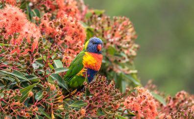 Lorikeet, parrot, colorful bird, sitting