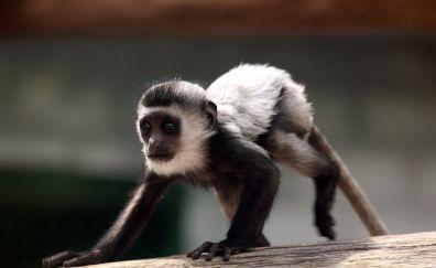 Colobus, baby monkey, animal