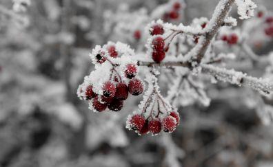 Rowan fruits, snow frost, winter