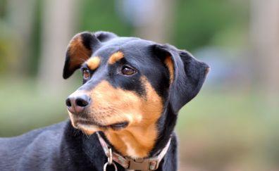 Doberman dog, muzzle, pet animal