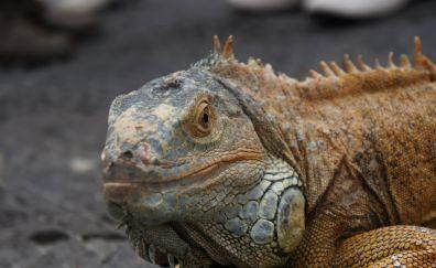 Iguana, lizard, reptile, animal