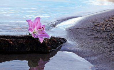 Lily flower, blossom, pink flower, sand