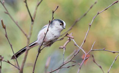 Cute titmouse bird, tree branch, blur